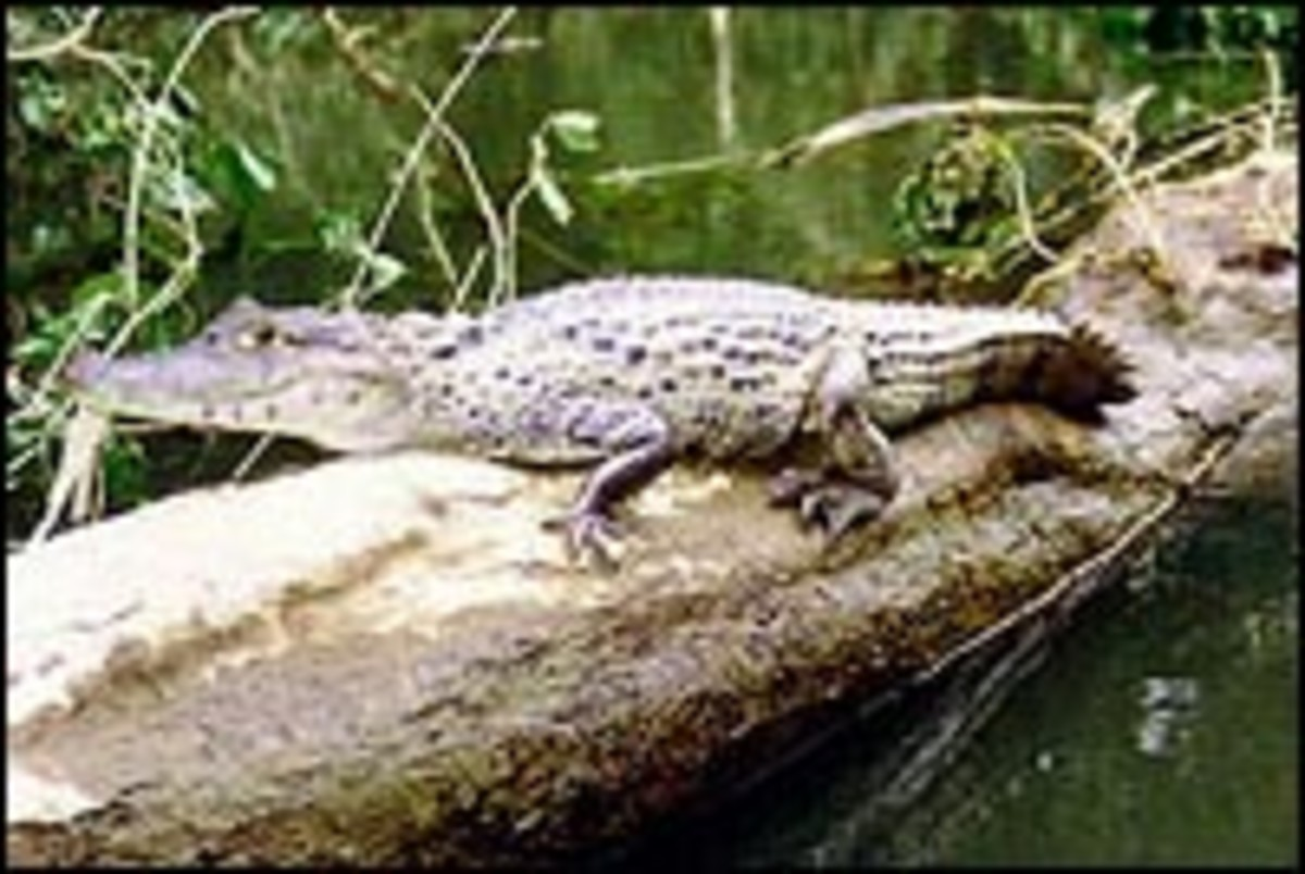 Caiman, a small relative of the Alligator.