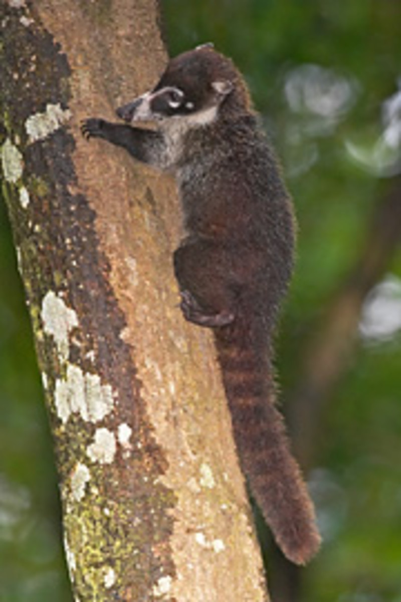 Coati or full name, Coati Mundi is a relative of the raccoon which you will also see in Costa Rica