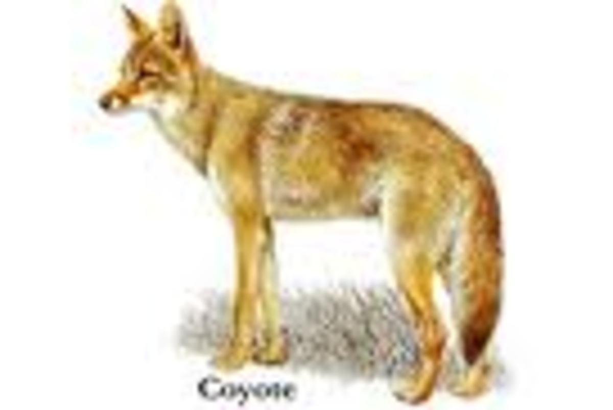 Coyote (Coh-Yoh-Tay)