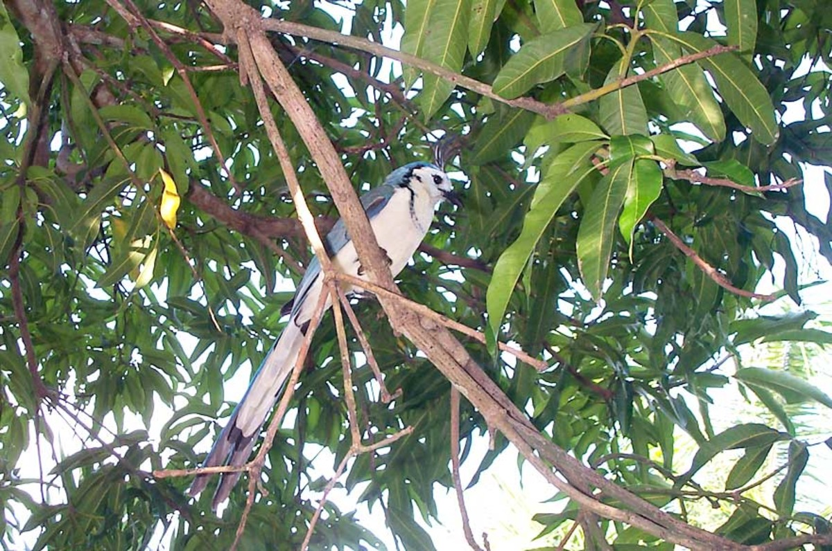White Throated Magpie Jay.  This larger relative of the Blue Jay is quite gregarious.  You may encounter one sitting on the back of an empty restaurant chair at your table.  They like to steal the sugar packets. They know which are real sugar.