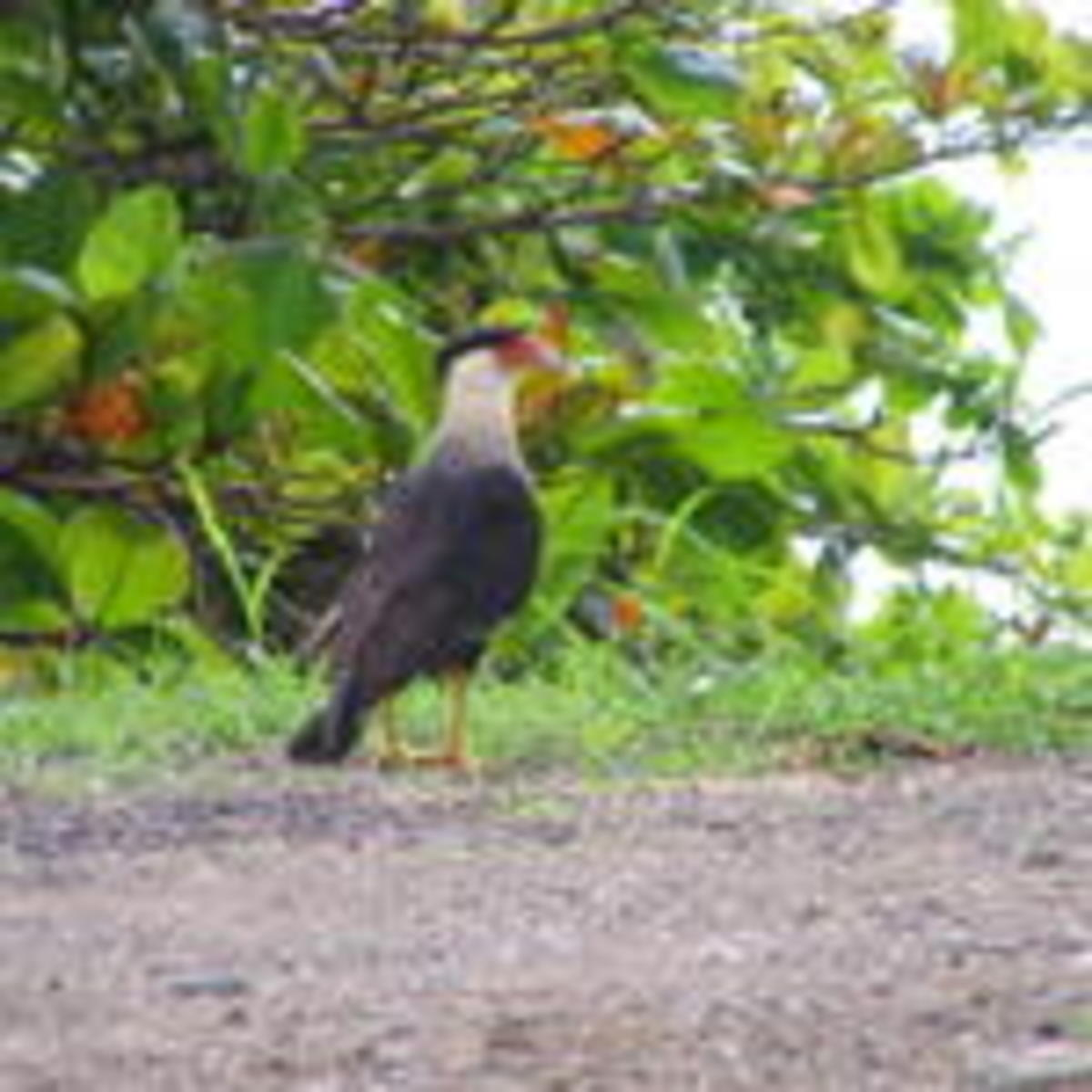 Crested Caracara.  This large bird looks to me like the result of an amorous encounter between a hawk and a chiken.