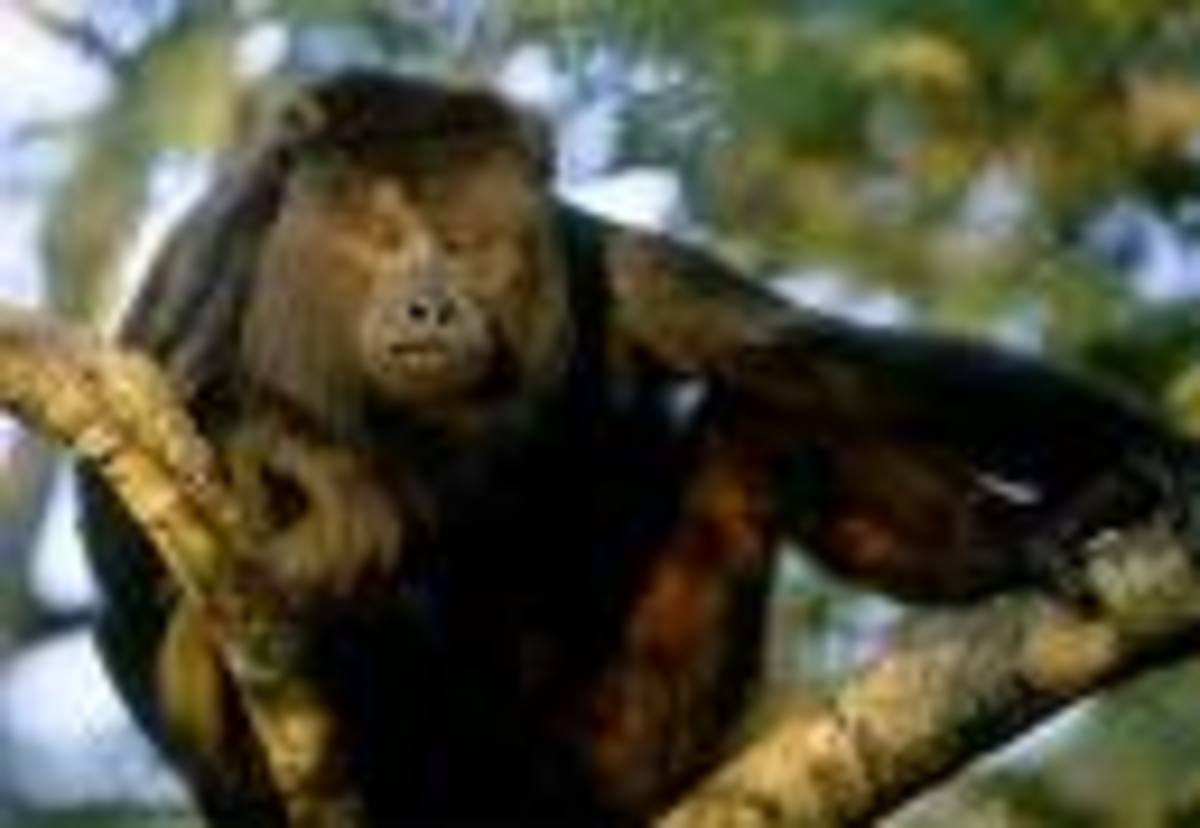 Howler Monkey.  You'll know for sure when you hear one.  About the size of a Cocker Spaniel and almost always in the trees.