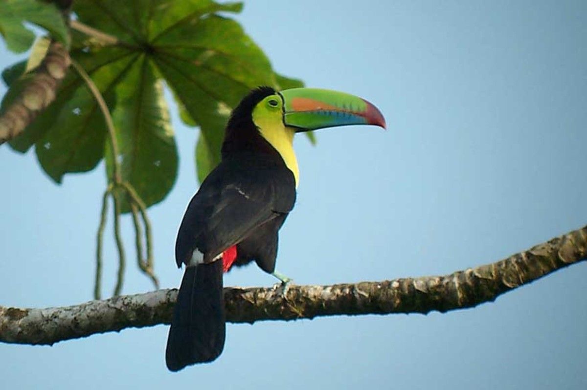 Keel-billed Toucan.  Another spectacular avian friend in Costa Rica