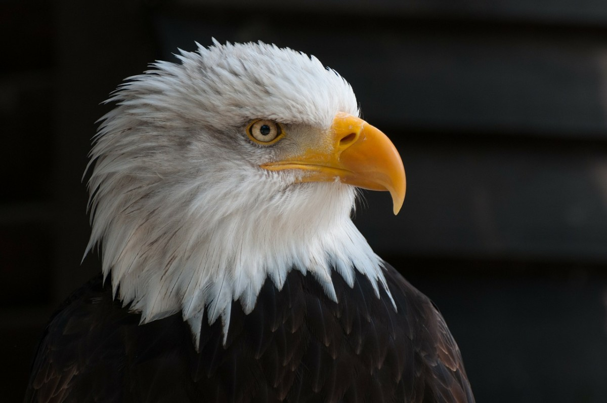 the-mighty-bald-eagle-usa-national-symbol