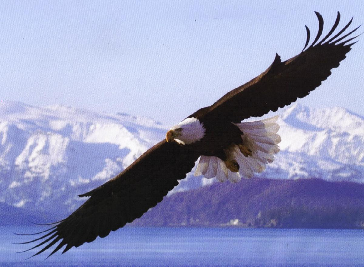 The Mighty Bald Eagle – USA National Symbol