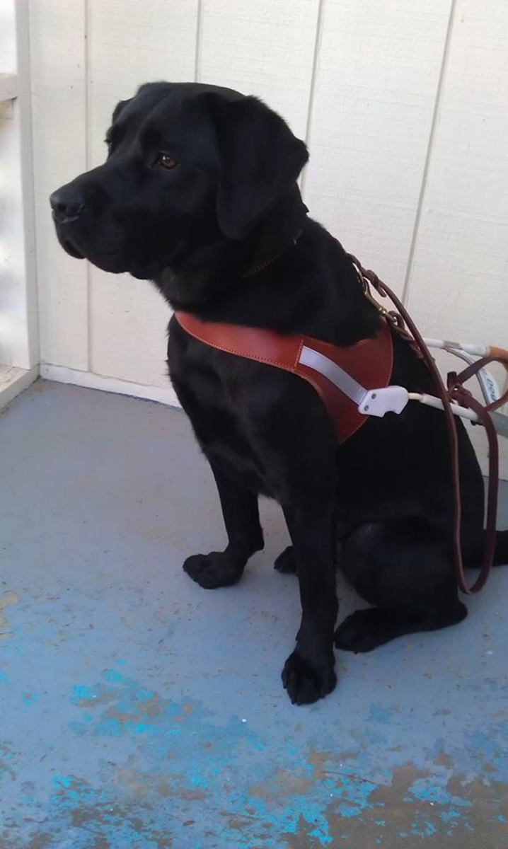 Leif, my Black male Labrador Retriever, in Guide Dog Harness and ready for work.