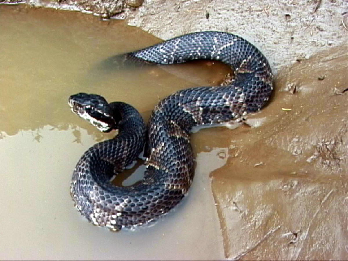 The Water Moccasin, or Cottonmouth Snake