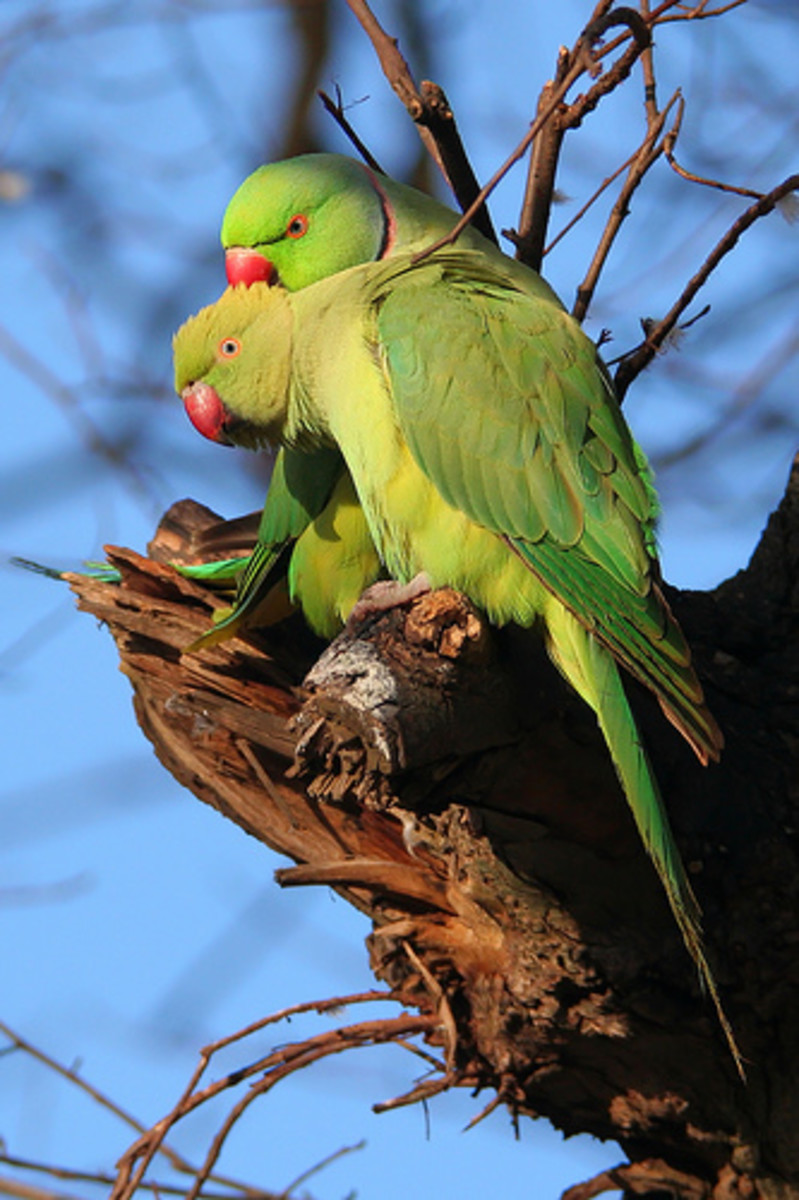 London Parakeets