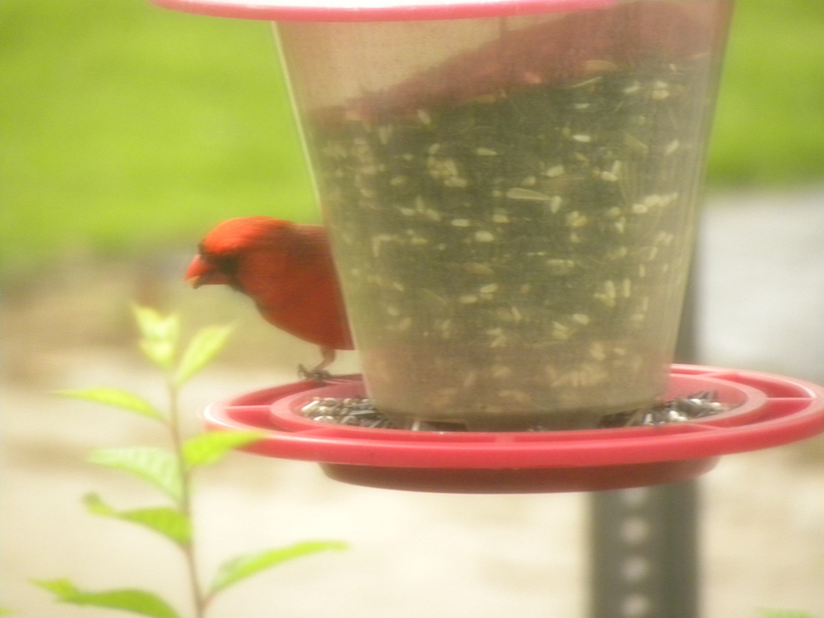 Cardinals use their short, conical bills to crack open seeds. Better-quality birdseed contains black-oil sunflower seed but won't have fillers such as milo and cracked corn.