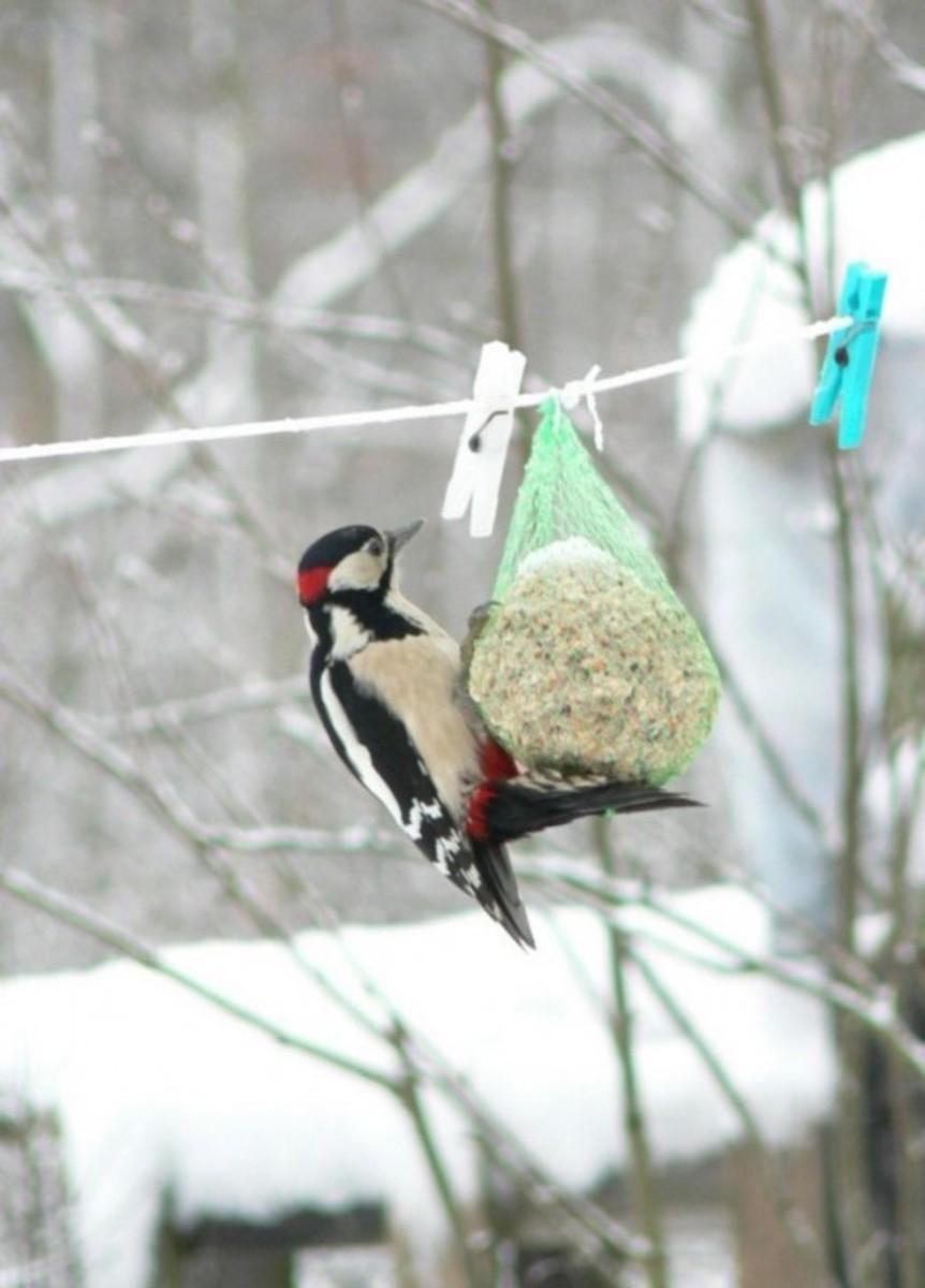 A woodpecker eats seeds in winter