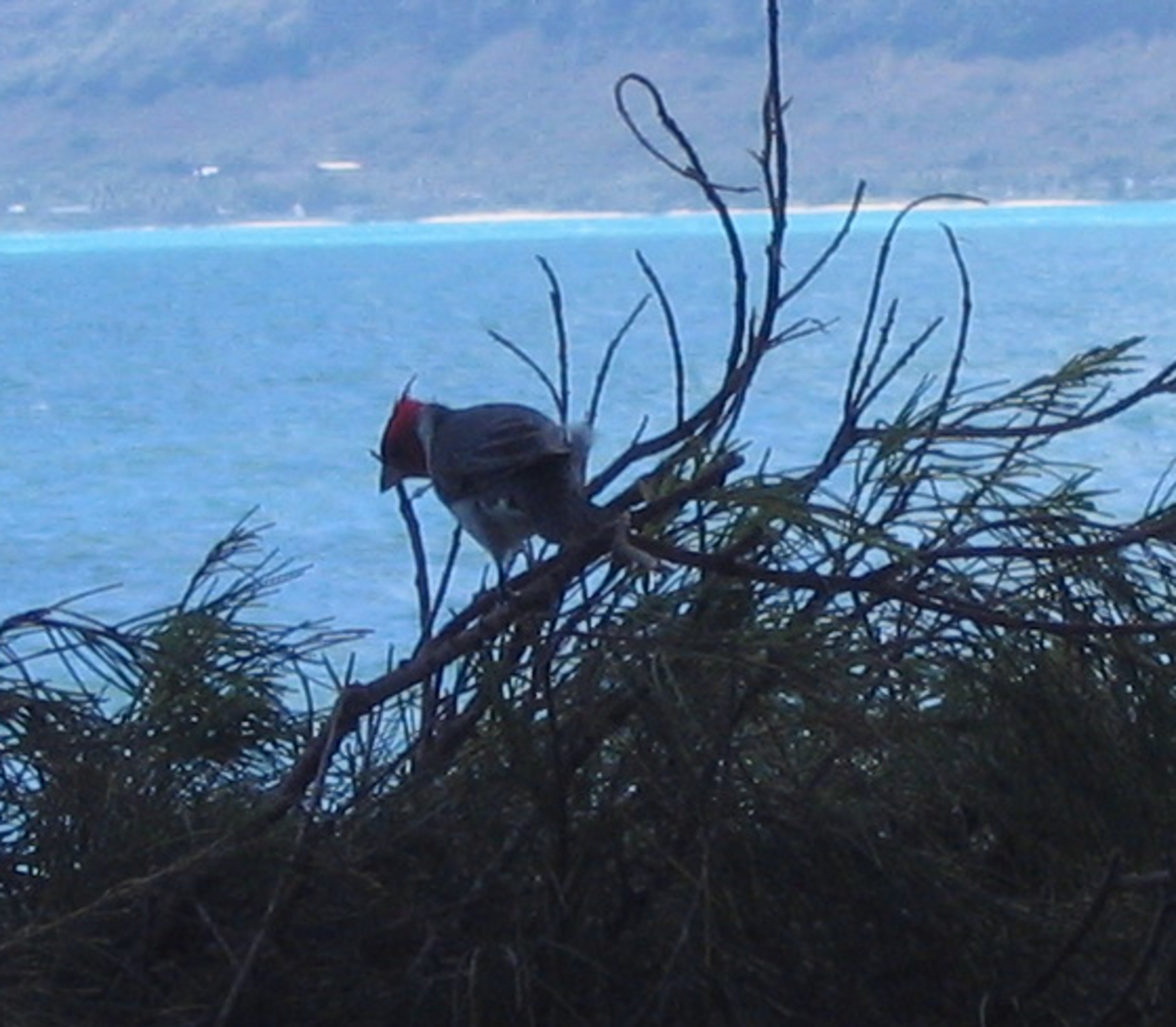 A red crested cardinal on Oahu, HI. Despite it's shared name, it isn't closely related to the cardinals on the mainland.