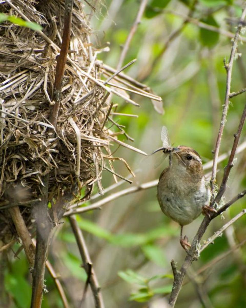 A marsh wren brings an insect to the nest.