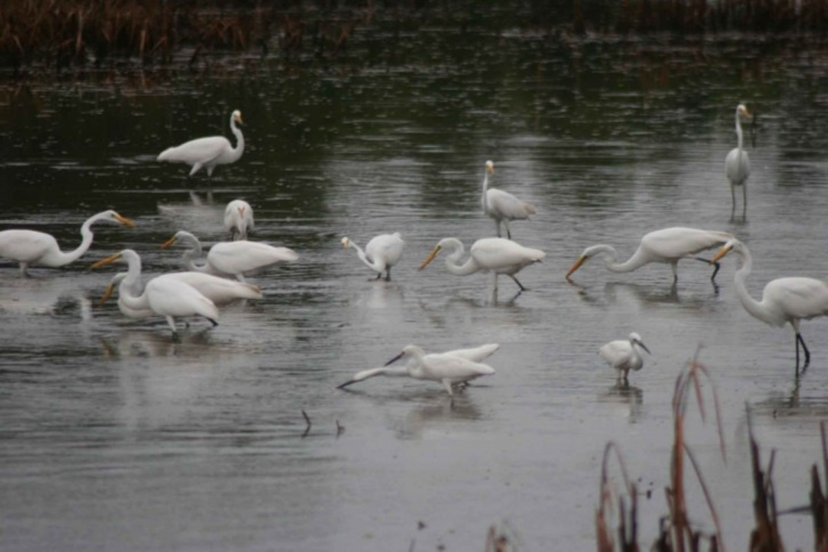 Wetlands are important environments for certain species of birds such as these egrets, terns and ducks.
