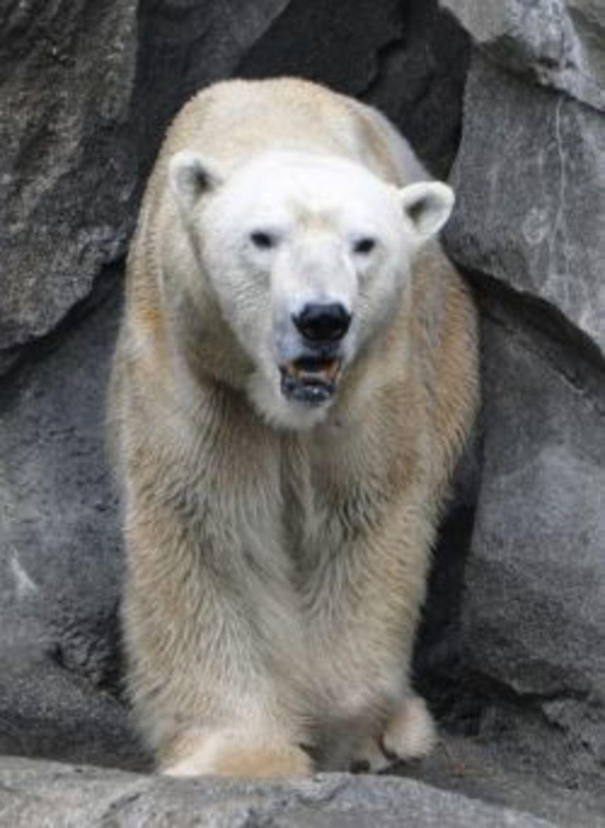 polar bear in cave