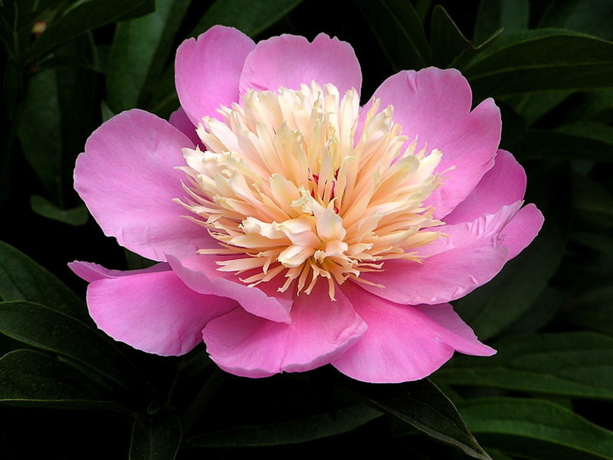 Bowl of Beauty is a large, fragrant Japanese herbaceous perennial peony.
