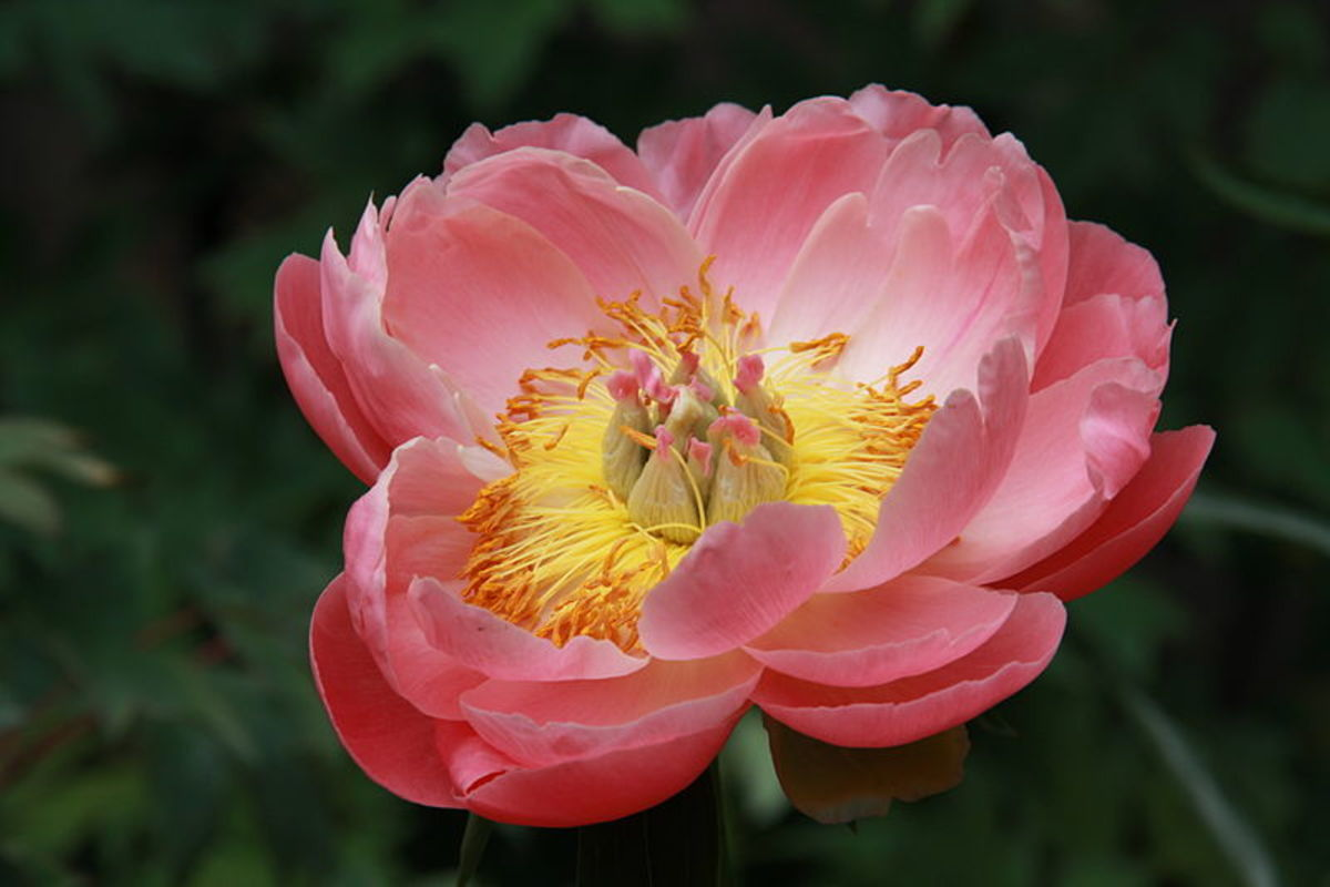 Old-Fashioned Peony Plants
