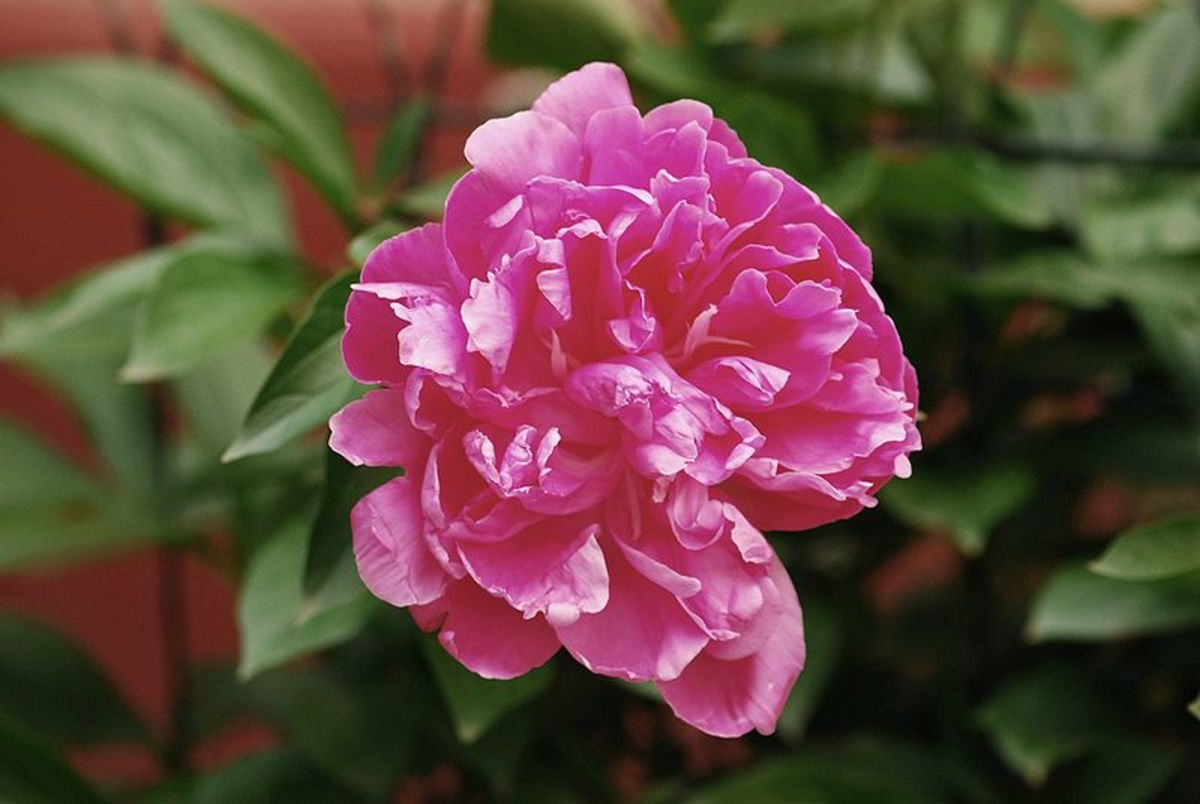 Paeonia lactiflora cultivar 'Monsieur Jules Elie'