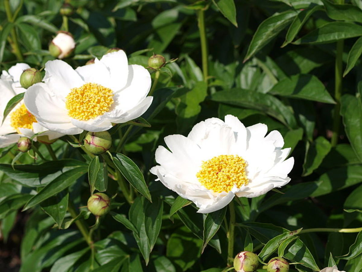 Better Homes and Gardens' editors picked the old-fashioned standard Krinkled White peony as one of their favorite fuss-free plants.