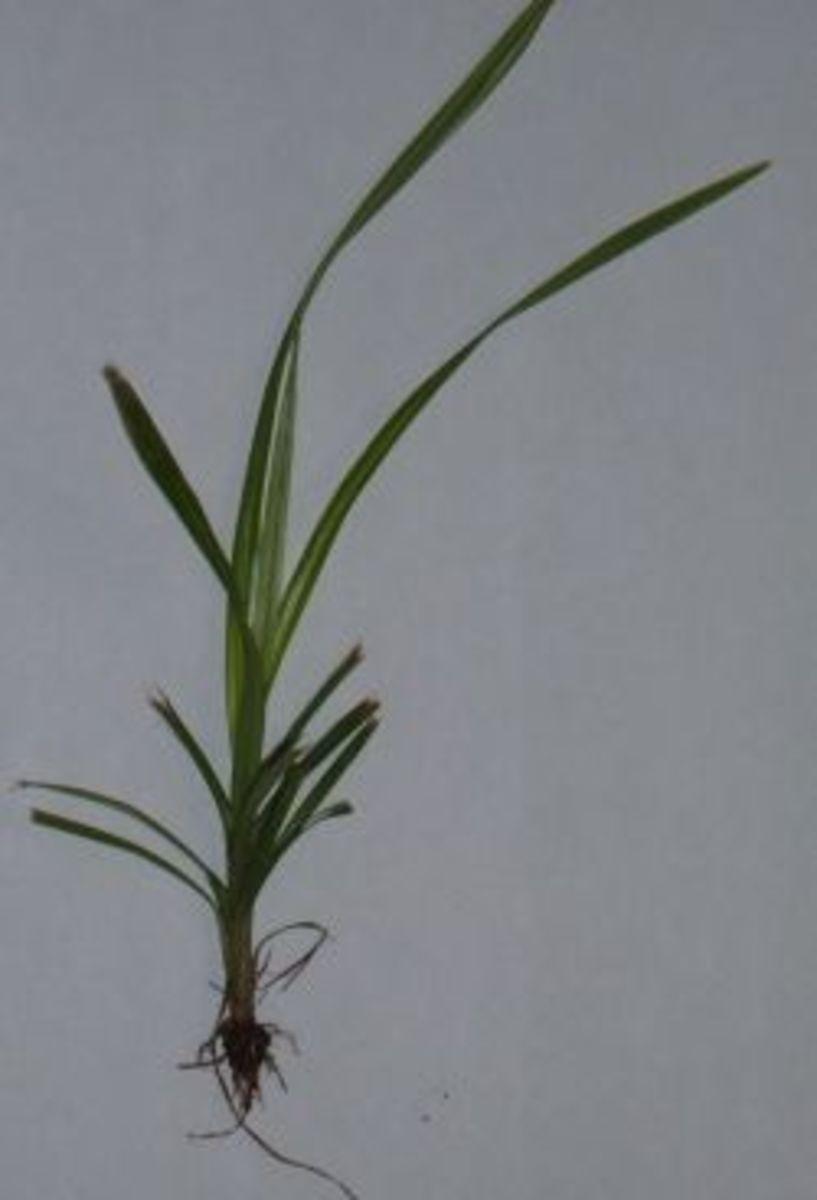 Nutsedge Plant