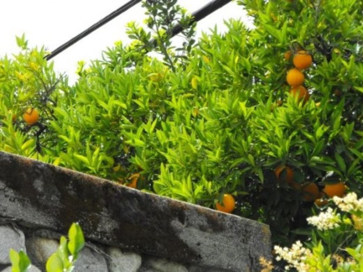 Old orange trees