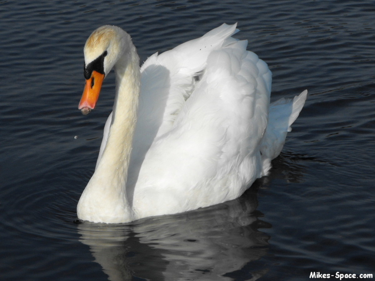 Adult swan.