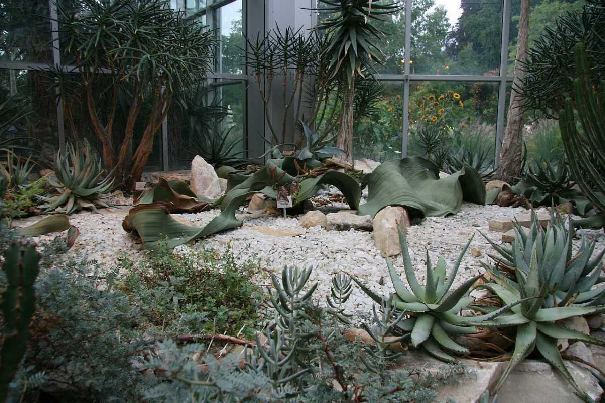 Welwitschia in the Palmengarten in Frankfurt, in Germany. Note the enormous leaves.