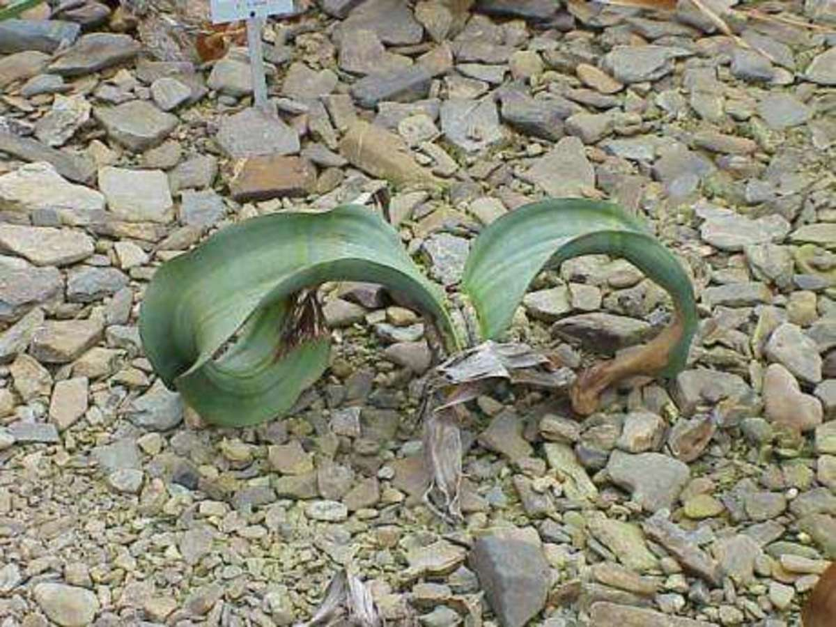 Closer look on Welwitschia mirabilis young plant.