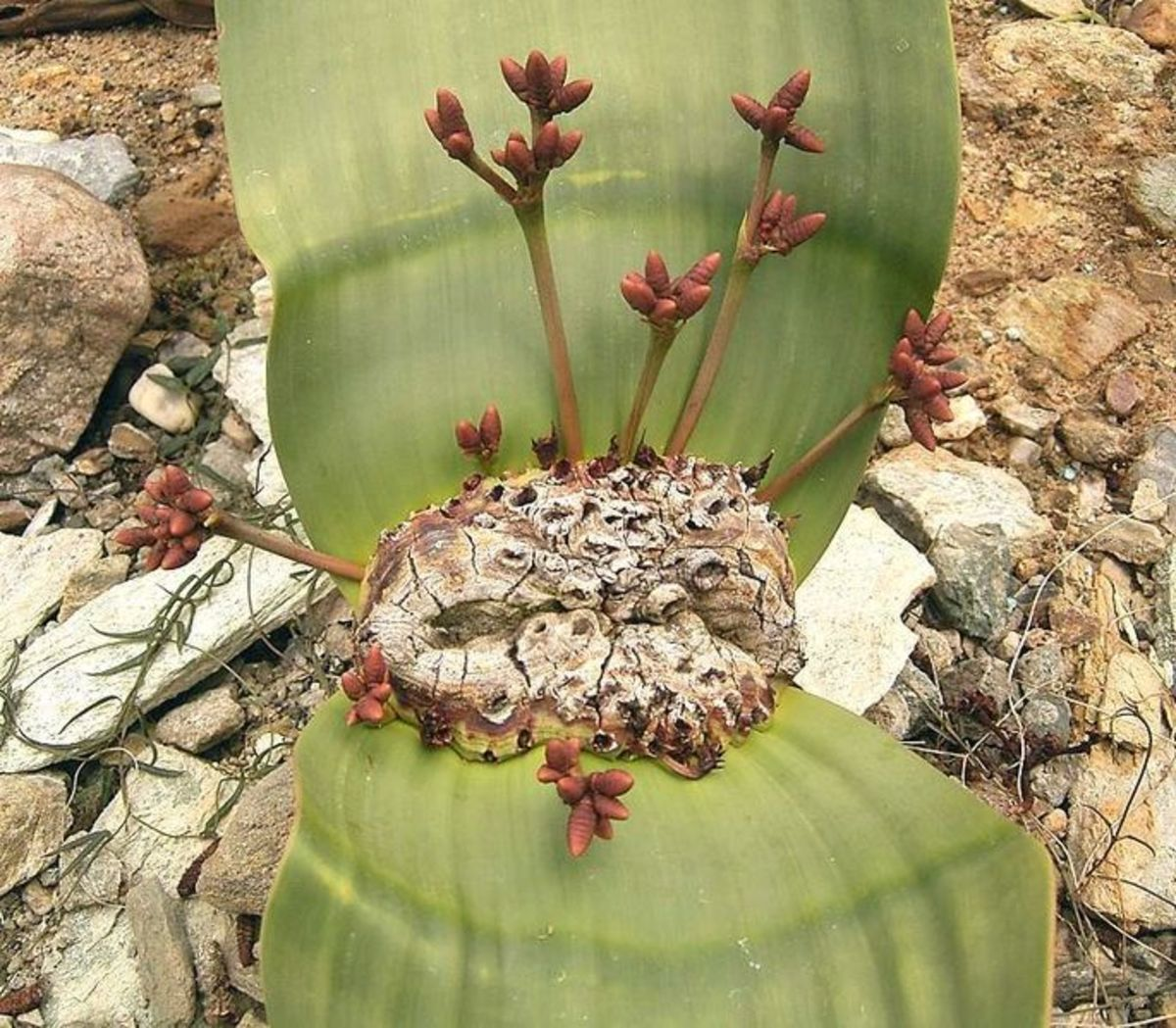 Cones of a Welwitschia mirabilis male plant.