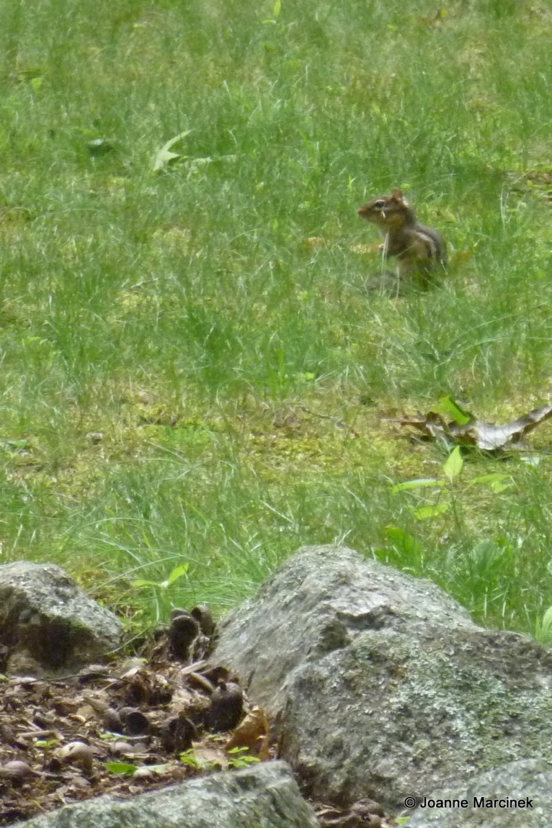 how to get rid of chipmunks digging in yard