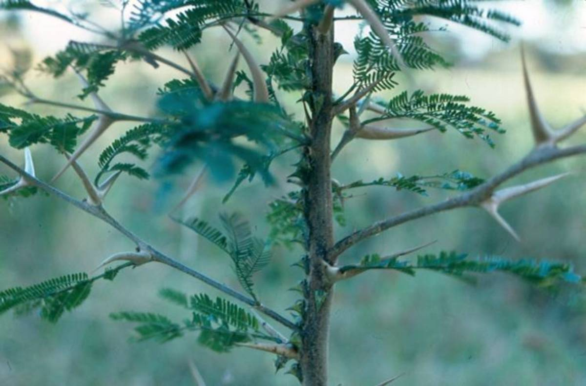Bullhorn acacia and its thorns.