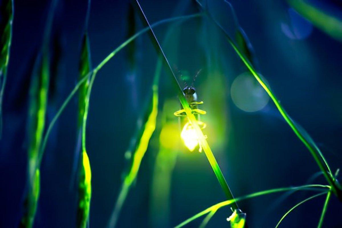 lightning-bugs-fireflies-and-fire-bees