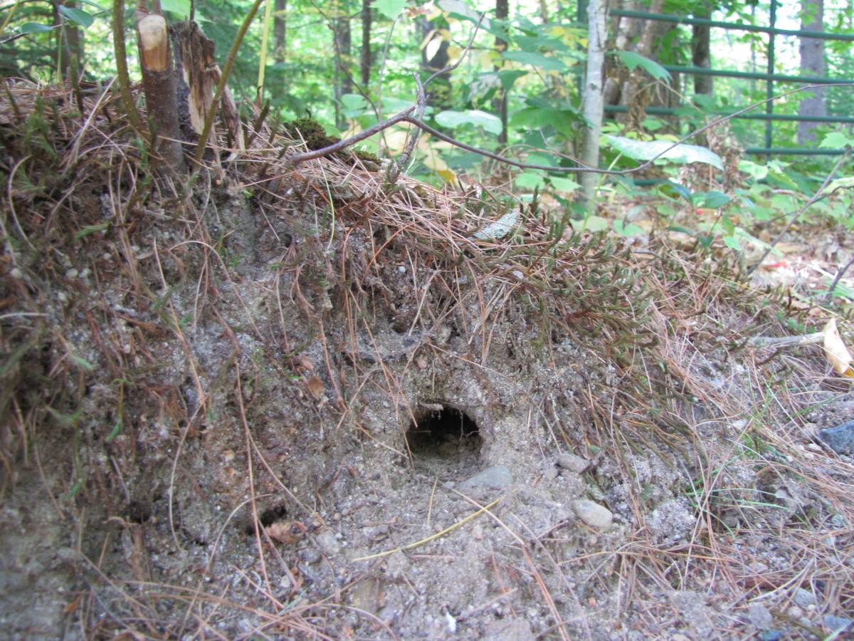 Chi[pmunks burrow into banks, under stumps and under steps, decks and sheds.