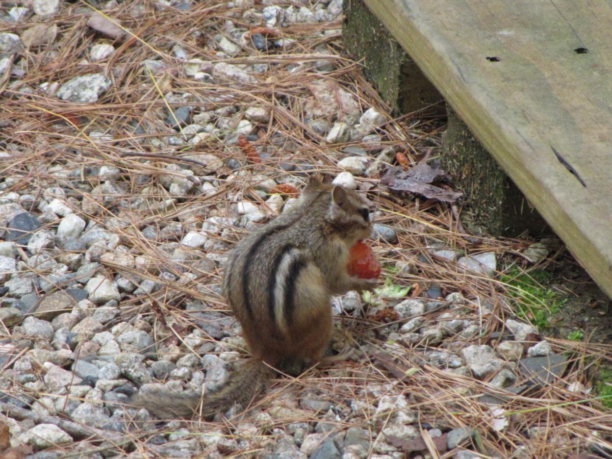 Pest in my New Hampshire garden.