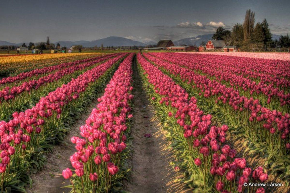 Sea of tulips, vast
