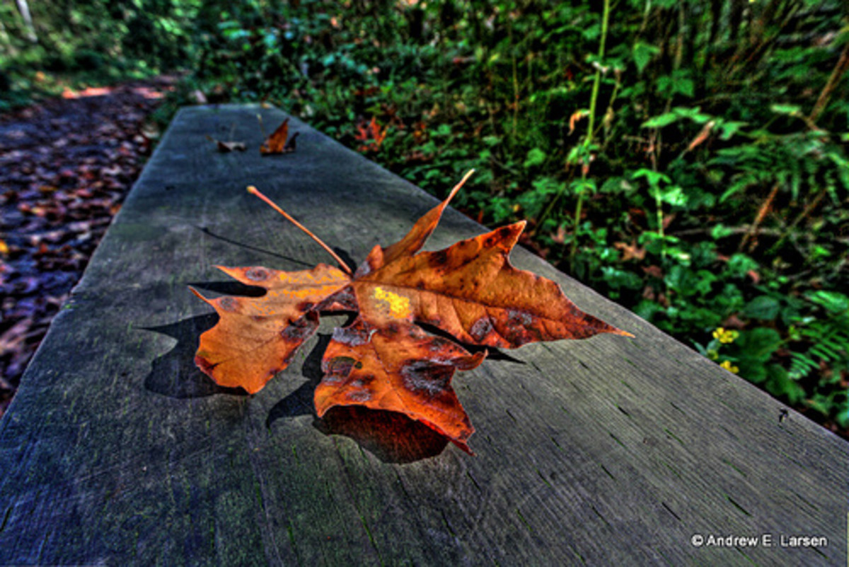 Blackening, lonely fall leaf