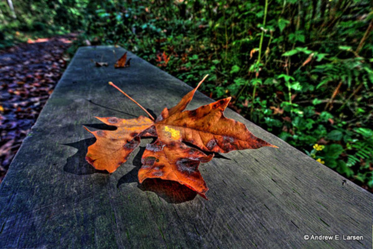 Blackening, lonely fall leaf