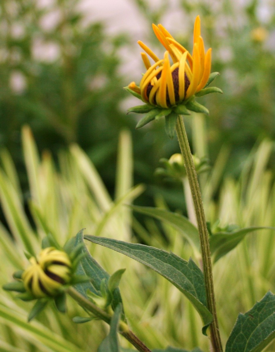 Black-eyed Susans are perfect for quaint indoor arrangements. Cut them right above a node. They'll rebloom.