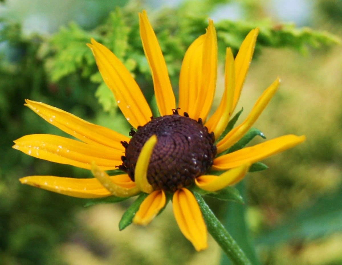 "This little black-eyed Susan seems to be saying, ""Psst! Over here!"""