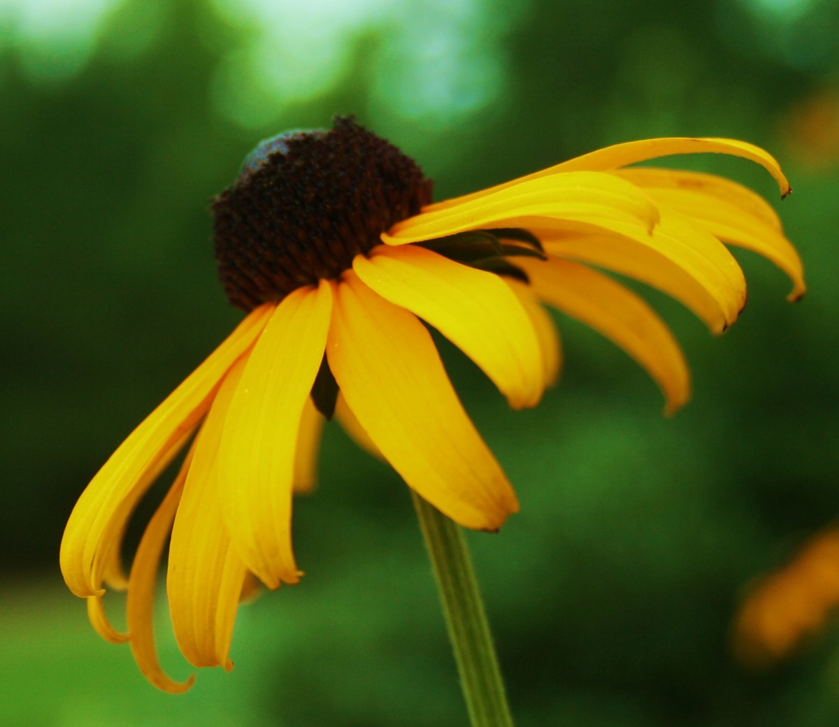 Cultivating a butterfly garden? You'll definitely want to include blackeyed Susan!
