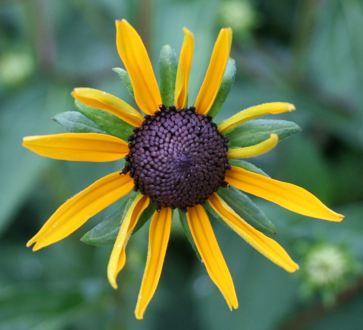 Rudbeckia may take days to fully unfurl.