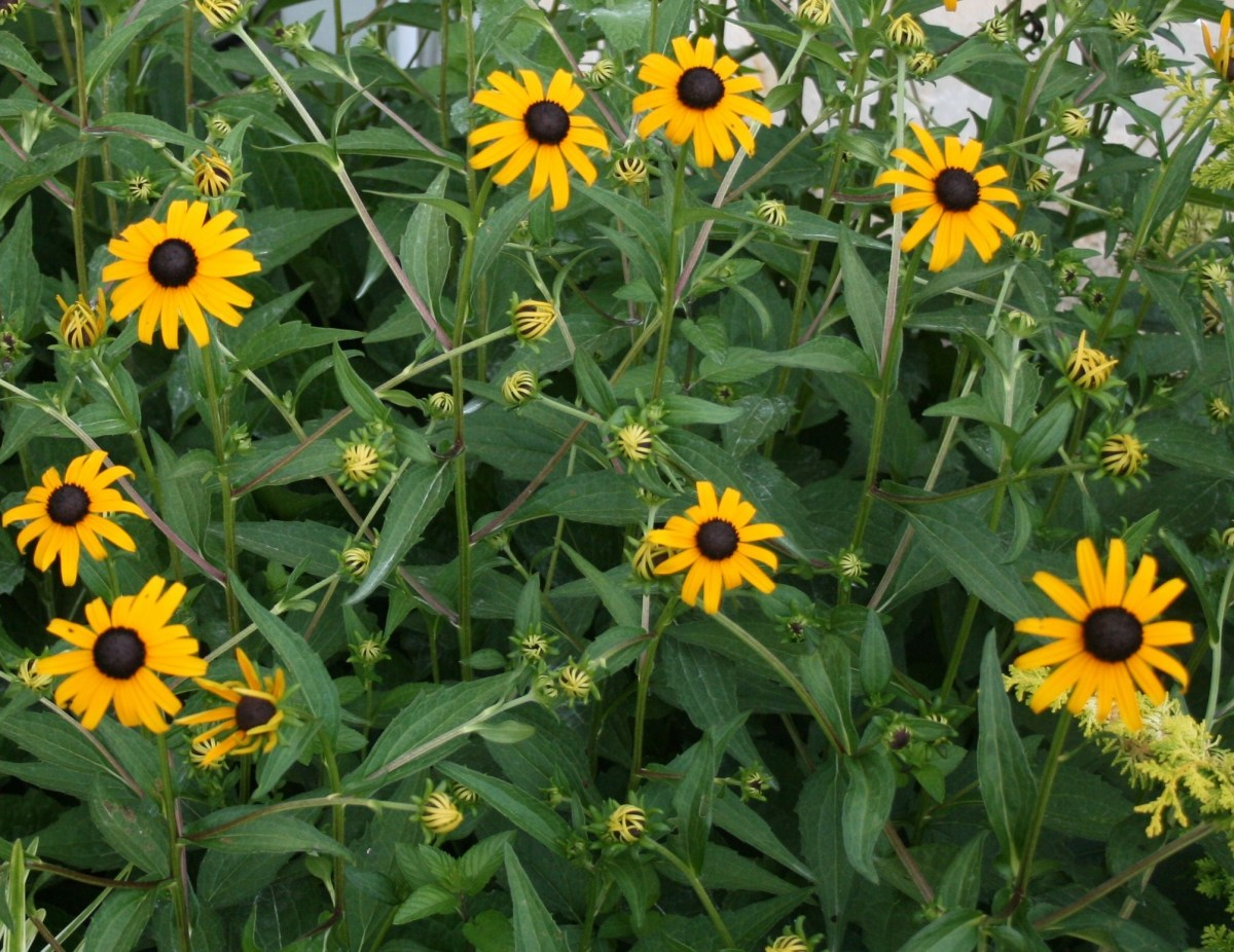 This large patch of Rudbeckia began from one small pot.