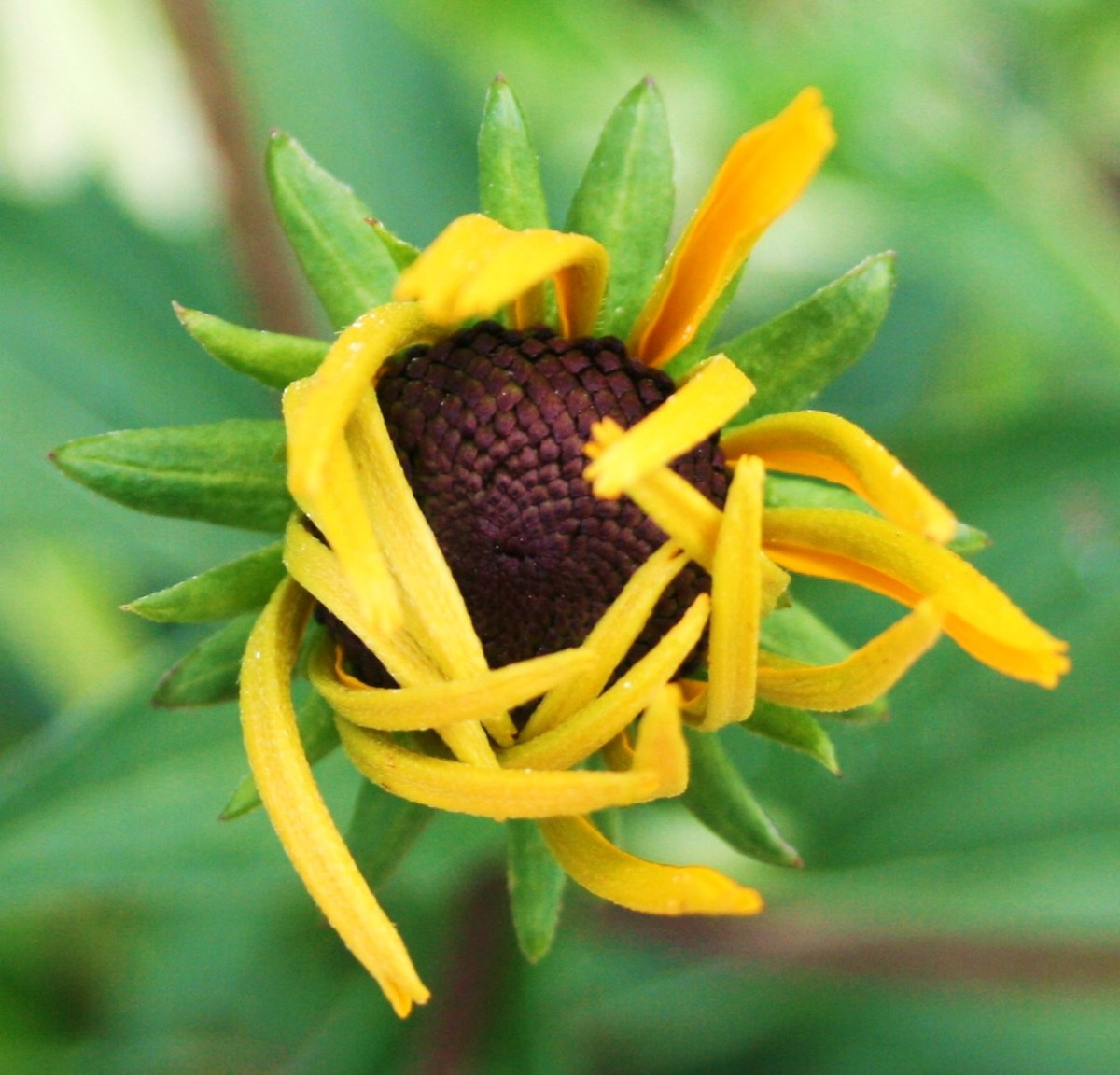 As they slowly unfold, Rudbeckia blossoms look like marzipan creations rather than real flowers.