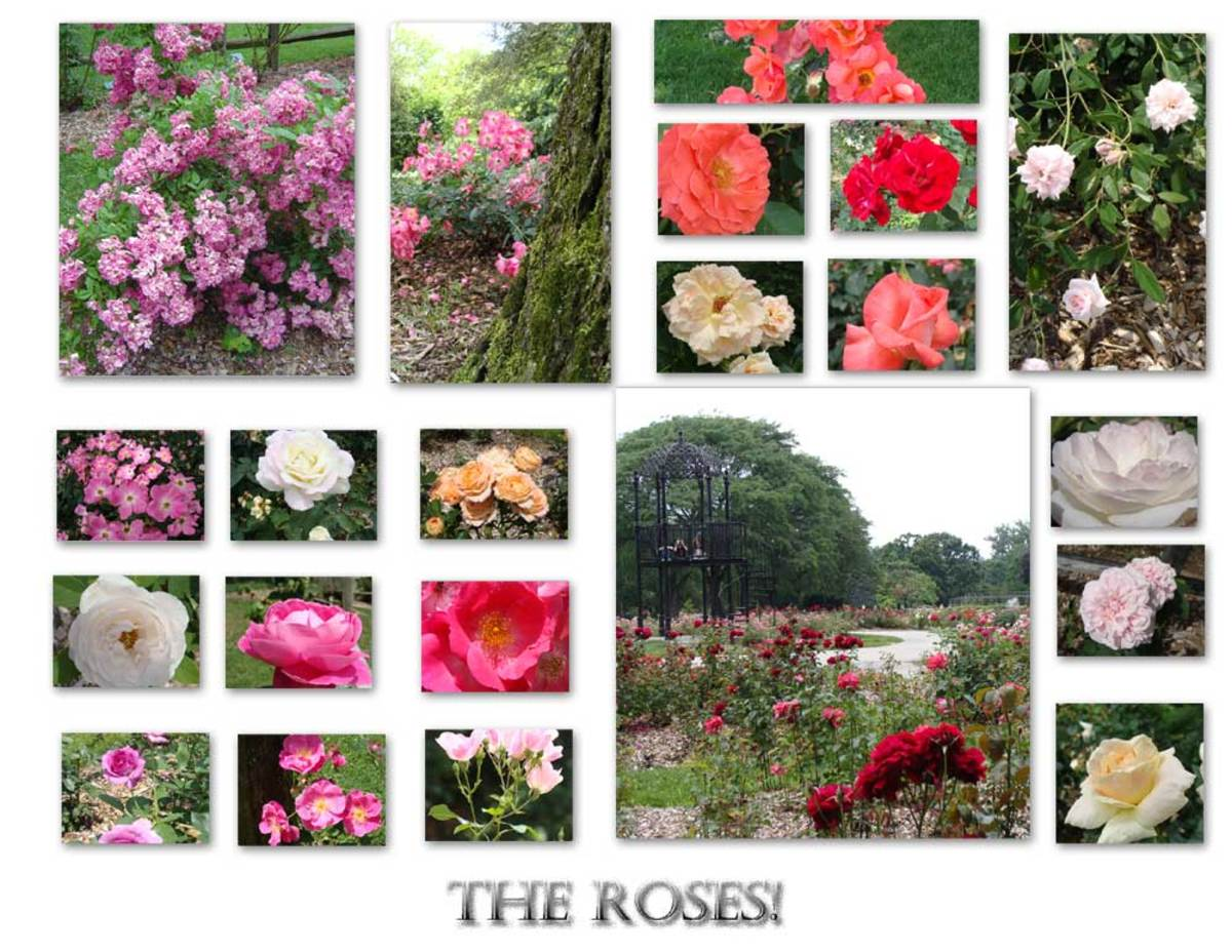 A gallery of rose photos taken at Whetstone Park