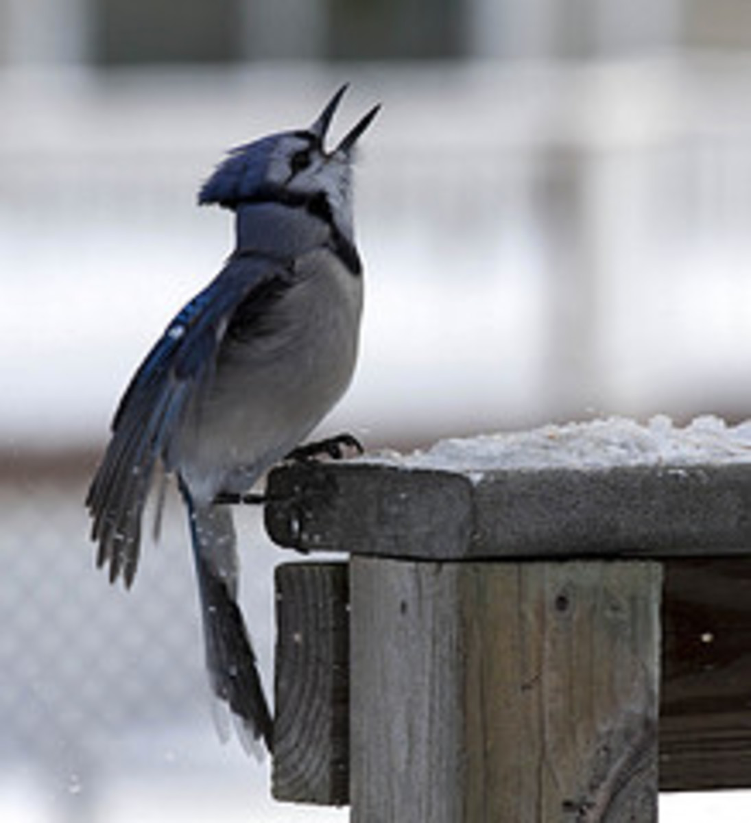 The Misunderstood Blue Jay