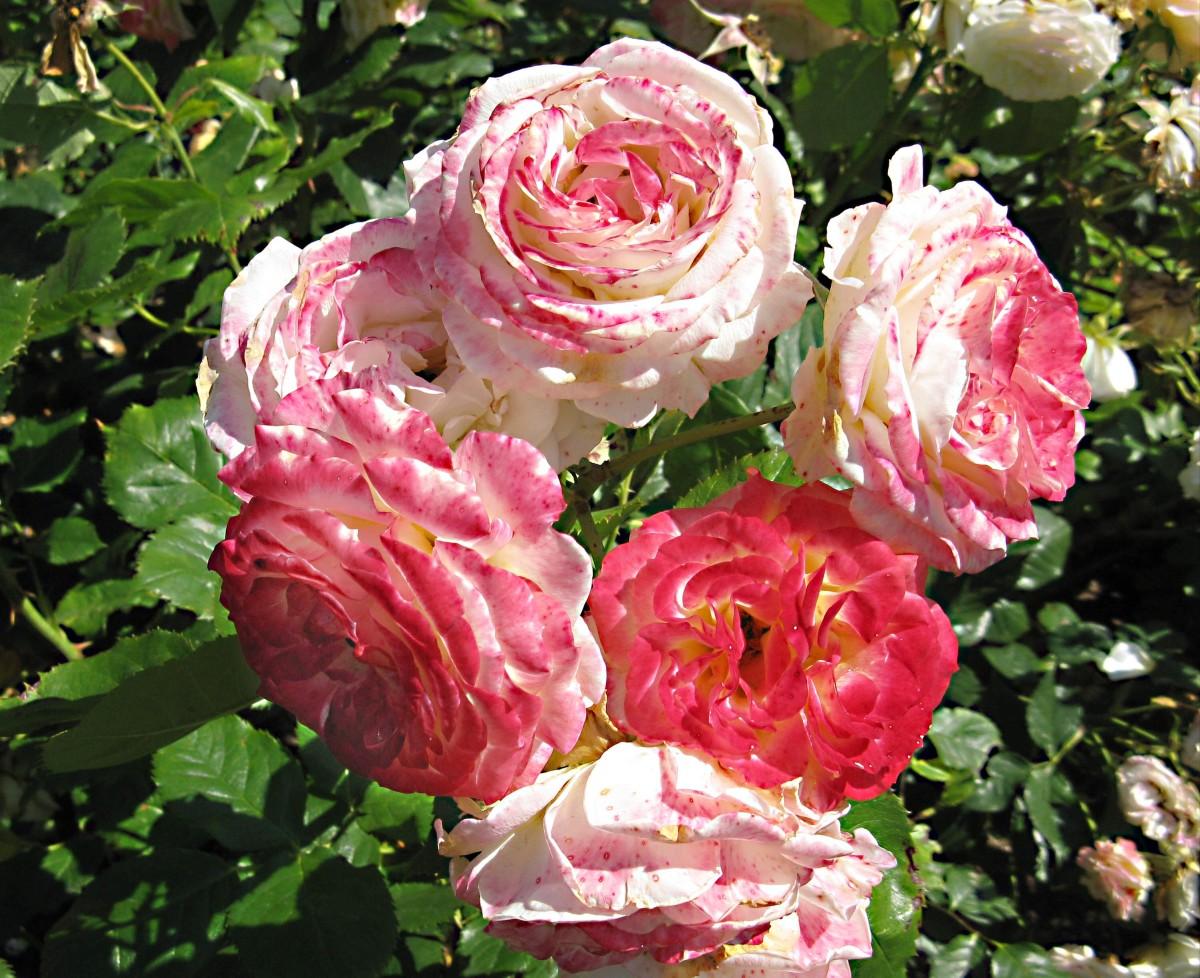 Roses in Stanley Park