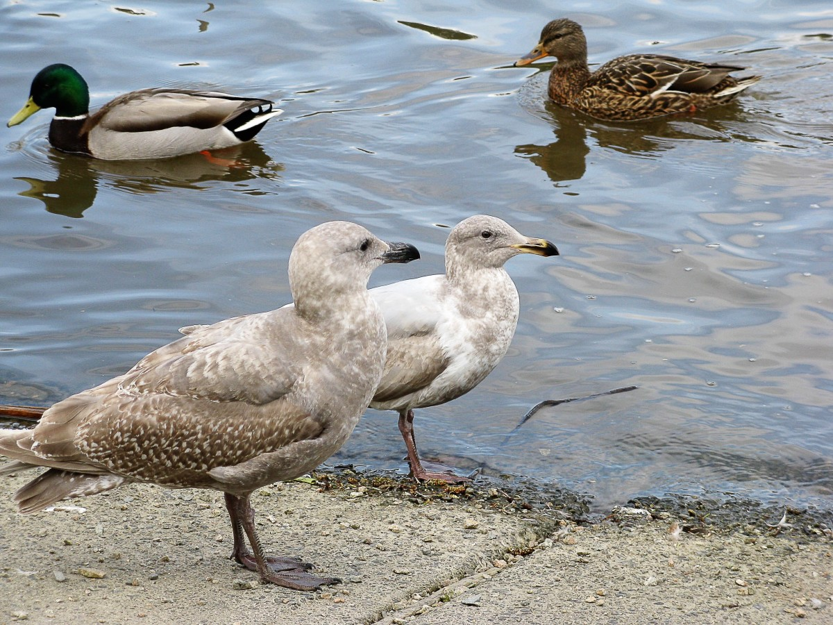 Immature gulls with a pair of mallard ducks in the background