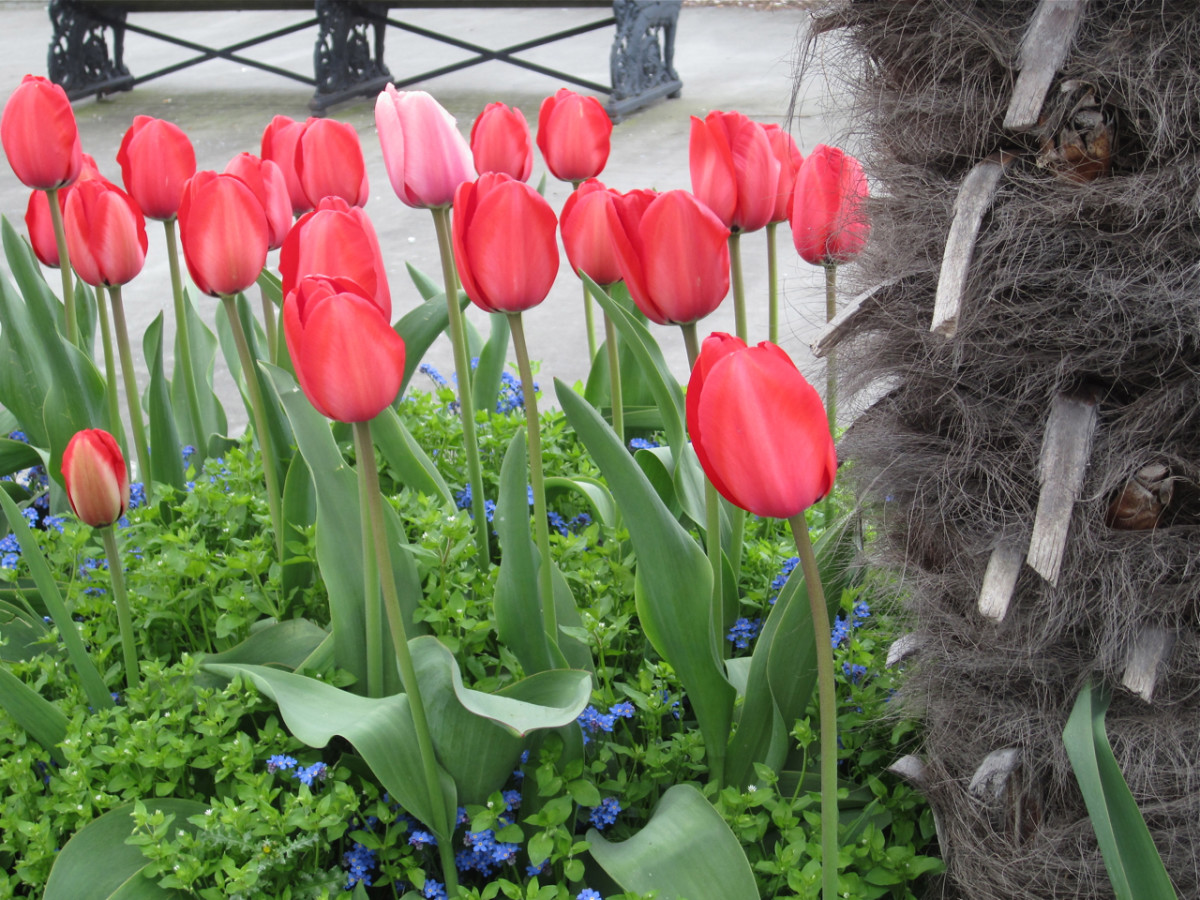 I paused briefly during one Sun Run to take a photo of this beautiful group of tulips beside the route.