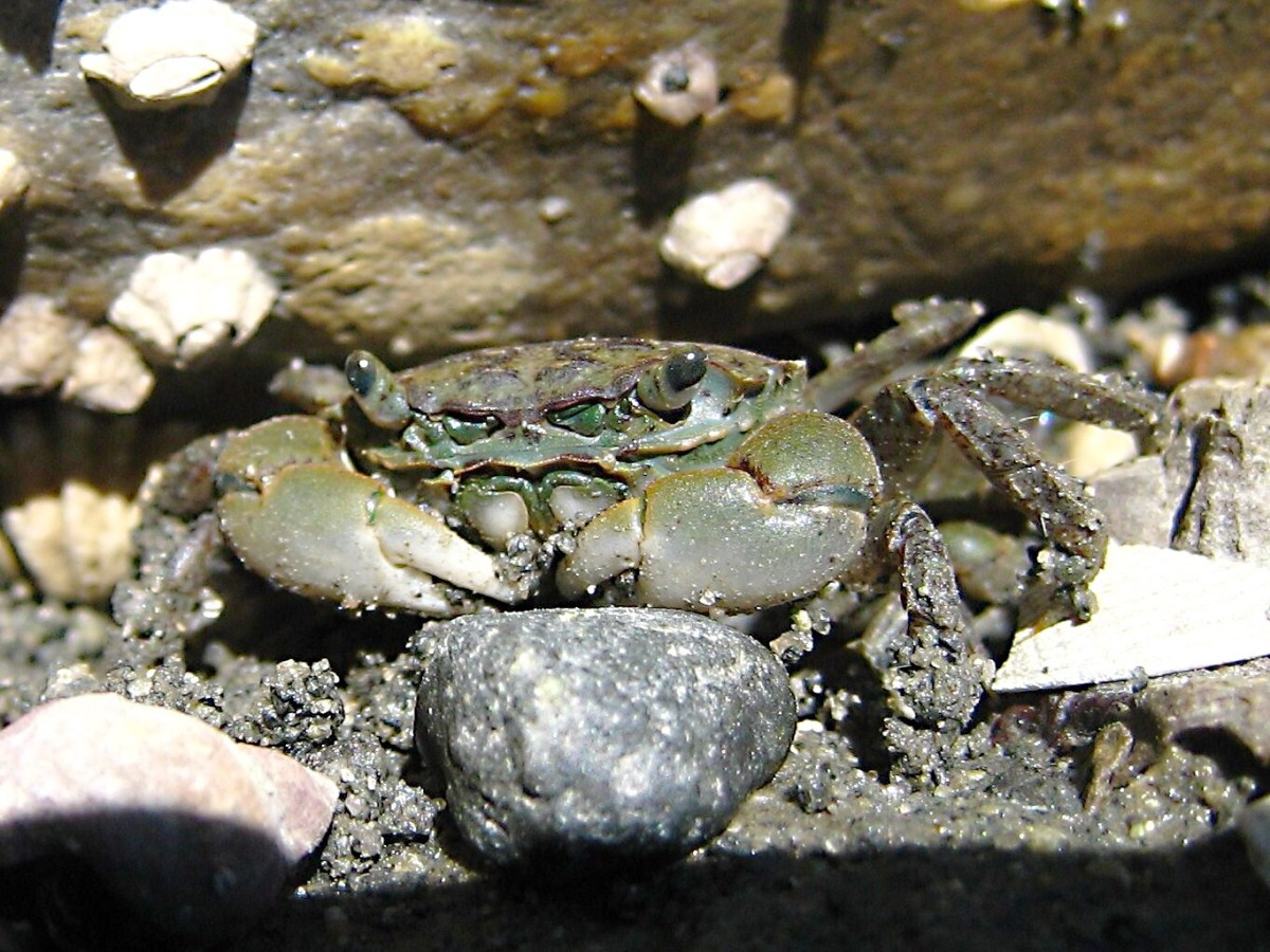 Green shore crab; photo by Ciar