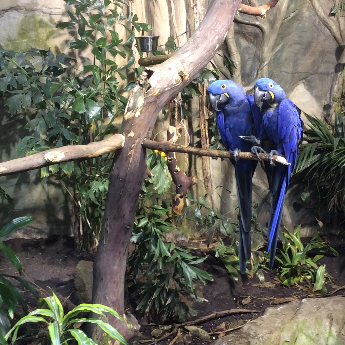 Hyacinth macaws (Anodorhynchus hyacinthinus) at the Vancouver Aquarium