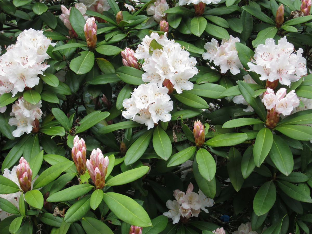 The rhododendrons are in bloom.